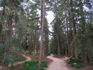 800px-UC_Davis_arboretum_-_redwood_grove_2