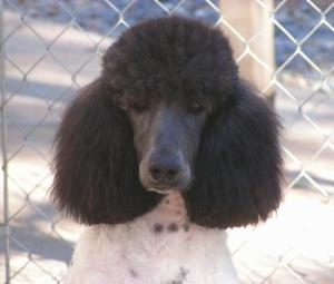 Black & White Parti-Poodle.  Courtesy High Falutin' Poodles.