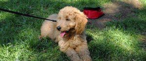 DSCN0086 Golden Doodle Puppy Farmers' Mkt 092609