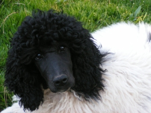 Parti Poodle Pup. Courtesy High Falutin' Poodles.