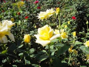 DSCN0146 Rose Garden Yellow Rose