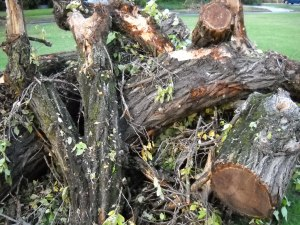 DSCN0418 All that 's left of 70 year old tree downed in storm