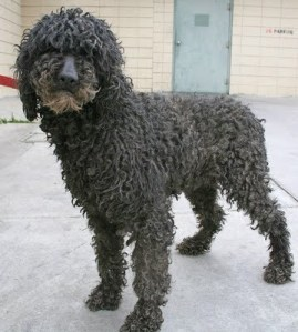 Neglected and ungroomed Standard Poodle seized from breeder.