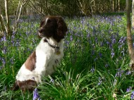 English Springer Spaniel Friend